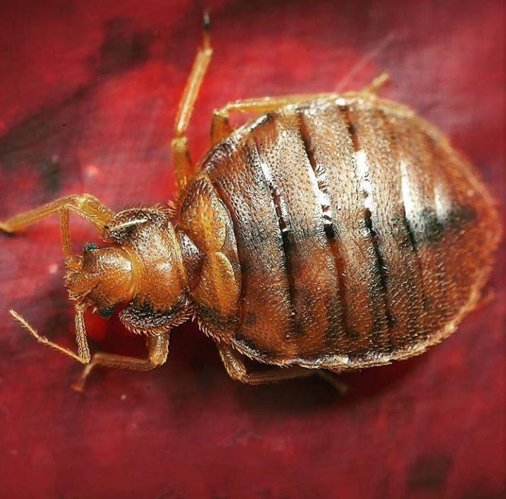 Bedbug , Header