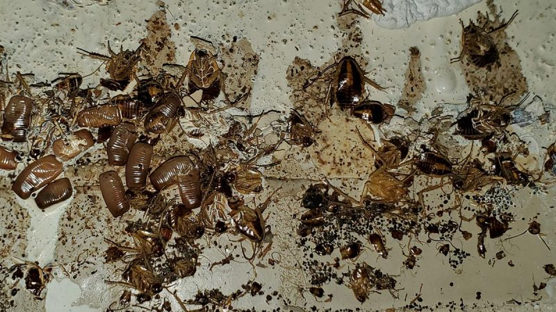 german roach infestation